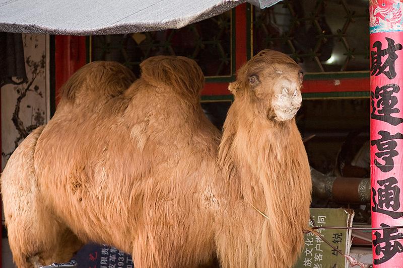 Wypchany baktrian, Hohhot, Chiny